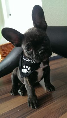 Black French bulldog.