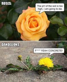 Roses vs. Dandelions