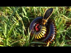 Fight to the death: Beetle vs Millipede #NikelaAfrica