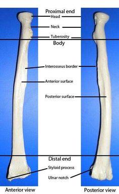 Radius Bone
