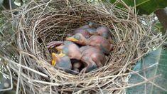 New Born Babies 5 - Category:Bird nests with chicks - Wikimedia Commons Three Little Birds, Bird Nests, Crow's Nest, Wikimedia Commons, Babies, Babys, Infants, Infant, Kids