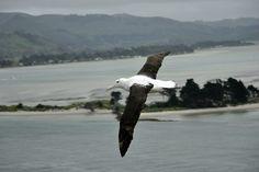 Effortlessly flying around Taiaroa Head