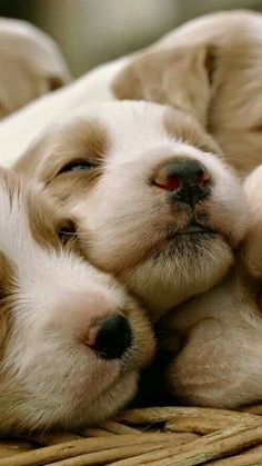 Too.............!!!!!! cute.................... i wannu kiss these puppies