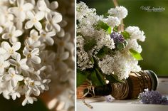 flowers white lilacs   white lilac