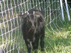 Gabby Goat East Texas Permaculture
