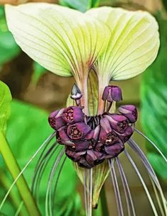 Tacca Integrifolia Orchid