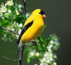 Eastern Goldfinch