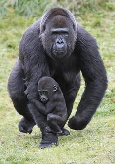 Baby gorilla hangs on. Gorillas via Gorilla Organization Primates, Mammals, Gorillas In The Mist, Baby Gorillas, Cute Baby Animals, Animals And Pets, Wild Animals, Silverback Gorilla, Gorilla Gorilla