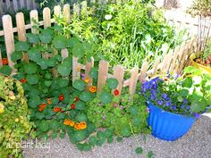 Nasturtiums - plant in the vegetable garden to keep pesky insects away. Also , all parts of the plant are edible - great in salads.