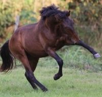 Lusitano stallion playing in the field. Life is good. Andre Ganc is selling this lusitano stallion on Epona Exchange!