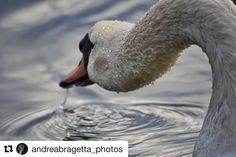 #Repost @andreabragetta_photos  Perspective . . . #swan #animal #water #reflection #perspective #lake #trasimenolake #umbria #vivoumbria #igumbria #nikon #nikonitalia #nikonphotography #nikond3300 #d3300