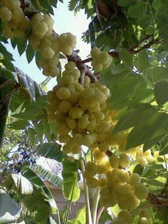 Grosellas de Puerto Rico   A Tart Tasting Delicious Berry