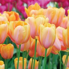 Tulip-Dordogne-17 5 for $10, 10 for $18, late season. $9.50 postage