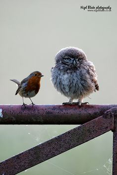 Robin and owl