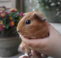 The Guinea Pig Daily: Lucy