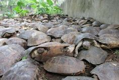 More than 4,000 live freshwater turtles and 90 dead ones were found in a pond inside a remote warehouse on the western island of