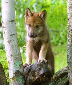 Wolf pup at Lakota. From the Photography collection of Dan Bacon Founder of Lakota Wolf Preserve. Follow us @madetoorderjewelers on Instagram, Tumblr & Facebook for more of Dan's photography. Stop in at our store to see and purchase prints. #MadeToOrder 44 Main Street, Clinton, NJ