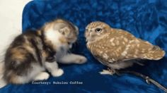 This owl who is pals with a kitten. | 36 Pictures That Prove Birds Are Actually Really Friggin' Cool