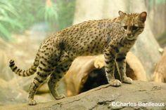 geoffrey cat - Google Search
