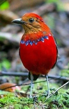 The blue-banded pitta (Erythropitta arquata) is a species of bird in the Pittidae family. It is found in Indonesia, Brunei and Malaysia where it is endemic to the island of Borneo. Its natural habitat is subtropical or tropical moist lowland forests. Kinds Of Birds, All Birds, Little Birds, Love Birds, Most Beautiful Birds, Pretty Birds, Beautiful Pictures, Exotic Birds, Colorful Birds