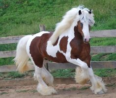 """Gorgeous Gypsy Vanner Horse of the most fabulous animals in the kingdom"""" - hahaha!Gorgeous Gypsy Vanner Horse of the most fabulous animals in the kingdom"""" - hahaha! All The Pretty Horses, Most Beautiful Horses, Cute Horses, Horse Love, Beautiful Creatures, Animals Beautiful, Pretty Animals, Adorable Animals, Cheval Pie"""