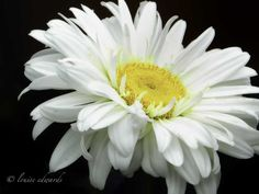 "Flower of the Day - July 24, 2012; ""Lazy Daisy,"" White Daisy, Hillsboro, Oregon; Copyrights belong to the photographer: Louise Edwards, L Photography, L Images."