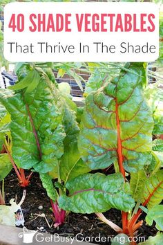 Vegetables That Grow In Shade Can vegetables grow in shade? In fact, some even prefer the shade, and shade loving vegetables will suffer in the hot sun. Shade vegetable gardening isn't hard, and with this list of over 40 vegetables that grow in sh Olive Garden, Veg Garden, Garden Types, Edible Garden, Garden Plants, Potager Garden, Inside Garden, Garden Fun, Garden Cottage