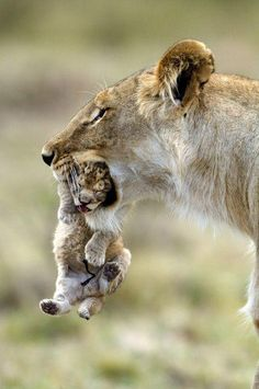 Lion and Cub - I told you to come home when the street lights come on.