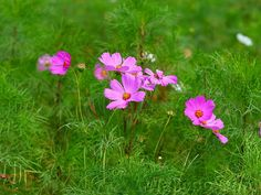 #flower #cosmos