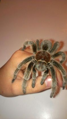 """Had a Chilean Rose Hair Tarantula named """"Zen"""" for just over three years. She was a beauty and without a doubt one of the largest rose hairs I'd ever seen… – OMG – WTF Rose Hair Tarantula, Pet Tarantula, Beautiful Creatures, Animals Beautiful, Spiders And Snakes, Pet Spider, Reptiles, Little Critter, Mundo Animal"""