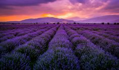 Lavender field by Mary Avedissian on 500px