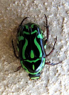 Eupoecila australasiae, commonly known as the fiddler beetle or rose chafer, is a colourful green- or yellow-and-black member of the scarab beetle family from eastern Australia.