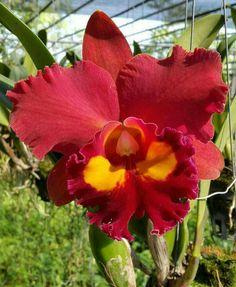 C.petch paitoon cattleya orchids, klairvoyant orchids, thrissur, kerala