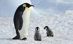 Emperor Penguin with