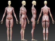 Anatomy study is an ongoing passion of mine. This was created from scratch, with every muscle being an individual piece to help my understanding of forms and correct anatomy. Human Anatomy Drawing, Face Anatomy, Anatomy Study, Anatomy Reference, Body Reference Drawing, Human Poses Reference, Drawing Tips, Art Reference, Anatomy Models