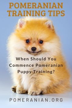 Are Pomeranians easy to train? Are Pomeranians stubborn? We answer these Pomeranian training questions and offer many Pomeranian training tips. #dochlaggie #pomeranian Pomeranian Puppy For Sale, Teacup Pomeranian, Dog Information, Potty Training Tips, Maltese Dogs, Dog Care, Fur Babies, Pomeranians, Puppies