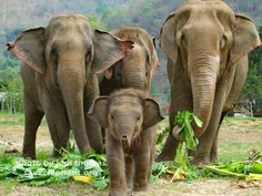 Baby Elephant at Elephant Nature Park, Thailand - Help Elephant Nature Park Save Elephants to Win a Trip to Thailand! Newborn Elephant, Cute Baby Elephant, Wild Elephant, Elephant Family, Asian Elephant, Cute Baby Animals, Wild Animals, Happy Elephant, Baby Elephant Pictures