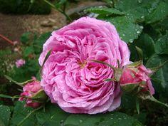 'Marie Louise' Rose Photo