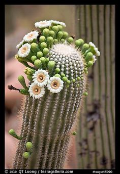 Picture/Photo: Detail of saguaro arm with flowers. Saguaro National Park