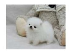 listing .Two Awesome T-Cup Pomeranian Puppies 23... is published on Free Classifieds USA online Ads - http://free-classifieds-usa.com/for-sale/animals/two-awesome-t-cup-pomeranian-puppies-234-221-8948_i35269