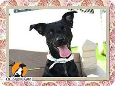 Orange, CA - Labrador Retriever. Meet SHELBY, a dog for adoption. http://www.adoptapet.com/pet/17122001-orange-california-labrador-retriever