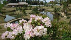 Rhododendron  at  Gyokusenin-maru gardrn, Marunouchi, Kanazawa, Japan