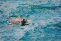 Zeeschildpad low isles