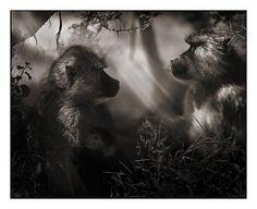 Baboons in Profile, Nakuru 2007, Nick Brandt