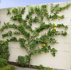 Espaliered Lemon Tree. Of course! Why didn't I think of this before?! My lemon and lime have barely grown in their wine barrels. Now I can get them in the ground and not take up patio space in my tiny back yard!