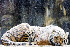 99988191_Tiger_244300c.jpg (620×413)