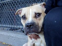 TO BE DESTROYED - Manhattan Center   My name is BLAINE. My Animal ID # is A1014043. I am a male tan pit bull mix. The shelter thinks I am about 3 YEARS old.  I came in the shelter as a STRAY on 09/14/2014 from NY 10467, owner surrender reason stated was STRAY.   https://www.facebook.com/photo.php?fbid=872717056074508