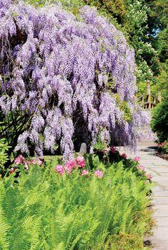Wszystko, co warto wiedzieć o pięknej wisterii nazywanej liliowym deszczem #ogrod #wisteria #krzewy #kwiaty