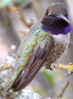 Black-chinned Hummingbird - First identified 05/09/2015 in Murrieta, CA (Santa Rosa Plateau)