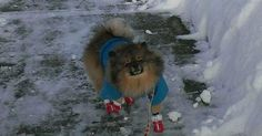 Meet Ali with his new snow boots! #pomeranian #cute #love
